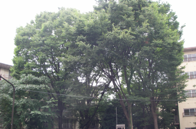 080711街路樹.jpg